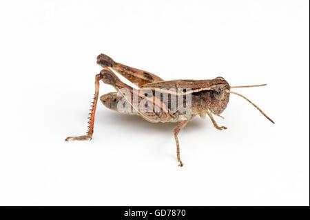 Wingless grasshopper (Phaulacridium vittatum) on white background - Stock Photo