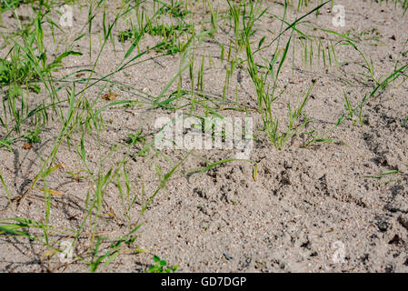 sand grass in early summer - Stock Photo