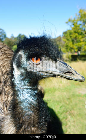 Emu (Dromaius novaehollandiae), Australia - Stock Photo