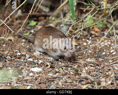 Close up of a wild Brown Rat - Stock Photo