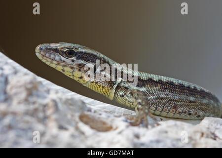 Podarcis muralis, Common Wall Lizard - Stock Photo