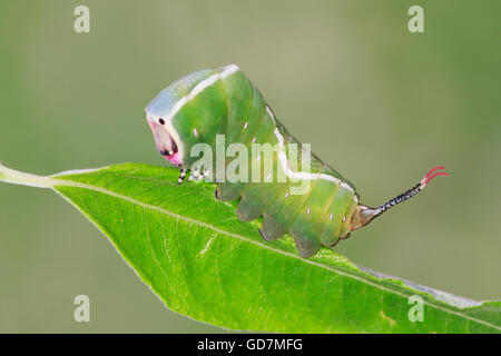 Puss moth caterpillar Cerura vinula on a leave showing red antennae - Stock Photo