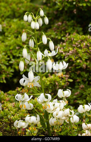 White turkscap lily flowers in the head of the woodland lily, Lilium martagon 'Album' - Stock Photo