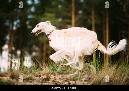 White Russian Borzoi gazehound fast running in summer forest. These dogs specialize in pursuing prey, keeping it - Stock Photo