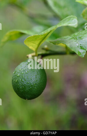 Immature Myers lemon on branch with leaves with background out of focus - Stock Photo