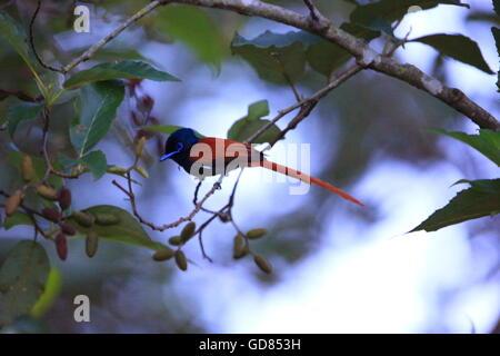 African Paradise Flycatcher (Terpsiphone viridis) male in Rwanda - Stock Photo