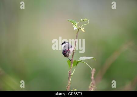 Black-headed Waxbill (Estrilda atricapilla) in Rwanda - Stock Photo
