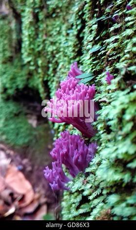 Purple coral fungi (Clavaria zollingeri) in moss in Australian rainforest - Stock Photo