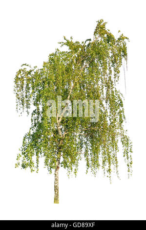 white birch isolated on a white background - Stock Photo