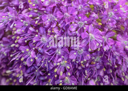 General view of the decorative inflorescences onions - Stock Photo