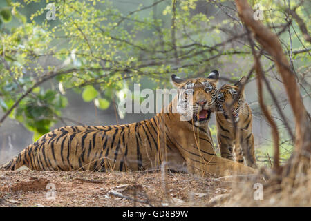 Bengal Tigress family watching beside the trees at Ranthambhore Forest, India. ( Panthera Tigris ) - Stock Photo