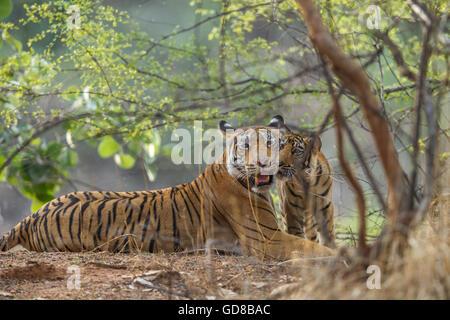Bengal Tigress family beside the trees at Ranthambhore Forest, India. ( Panthera Tigris ) - Stock Photo