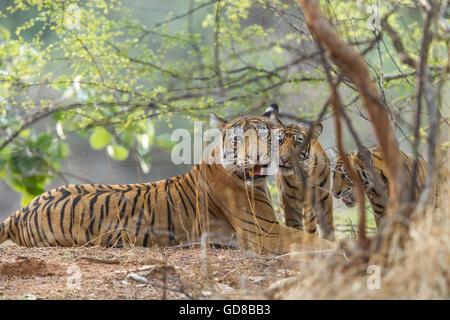 Bengal Tigress family staring beside the trees at Ranthambhore Forest, India. ( Panthera Tigris ) - Stock Photo