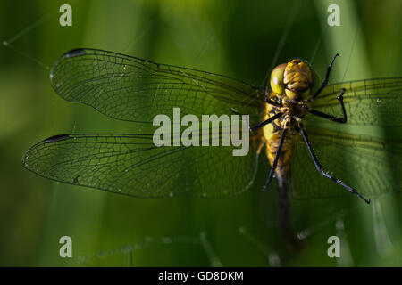 Close up of a female Common Darter - Sympetrum striolatum Dragonfly caught in a spiders web at Wilstone Reservoir - Stock Photo
