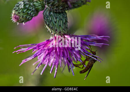 Robber Fly (Unknown species) on a thistle at Wilstone Reservoir, Hertfordshire, UK - Stock Photo