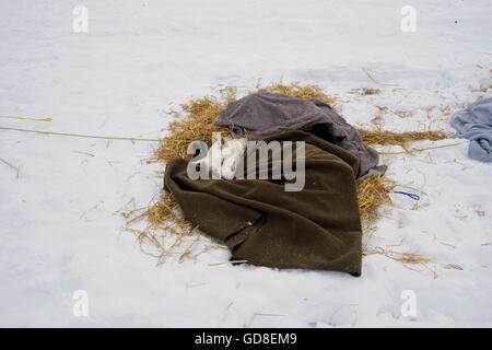 Two dogs sleeping under a woolen blanket in Neiden check point during the Finnmarkslope competition. - Stock Photo