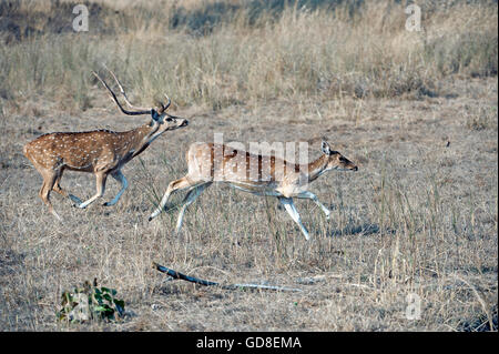 The image of Spoted deer ( Axis axis )  on run was taken in Bandavgarh national park, India - Stock Photo