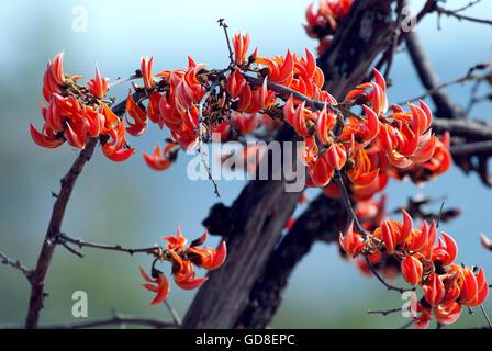 The image of Flame of forest ( Butea monosperma) Bandavgarh national park, India - Stock Photo