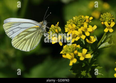 Green-veined White Butterfly - Stock Photo