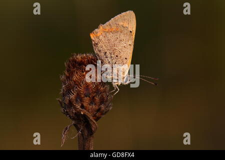 Small Copper Butterfly - Stock Photo
