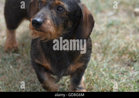 Cute scruffy face of a wire hair dachshund dog. - Stock Photo