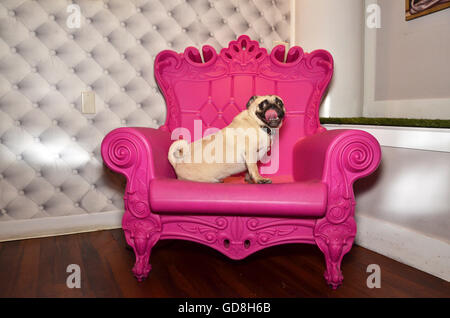 D Pet Hotels Chelsea Manhattan new york USA pug on pink throne - Stock Photo