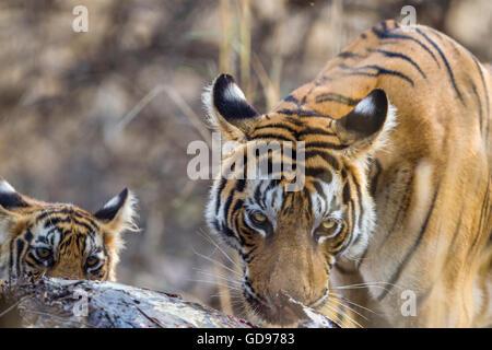 Bengal Tigress family eating a kill of Nilgai or blue bull antelope at Ranthambhore, India. ( Panthera Tigris ) - Stock Photo