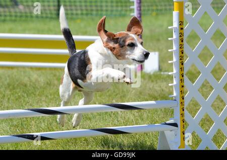 Tricolor Beagle Leaping Over a Jump at Dog Agility Trial - Stock Photo