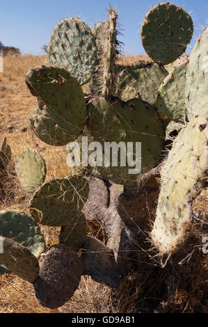Wild Opuntia robusta prickly pear cactus with a spider web - Stock Photo