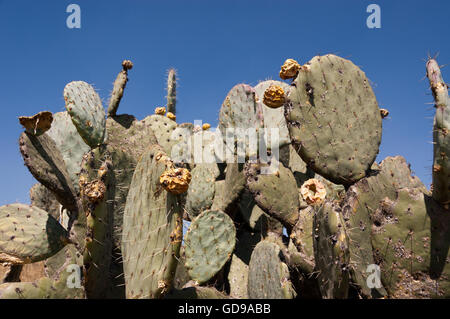 Wild Opuntia robusta prickly pear cactus - Stock Photo