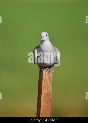 Eurasian collared dove (Streptopelia decaocto) Perching on stick - Stock Photo