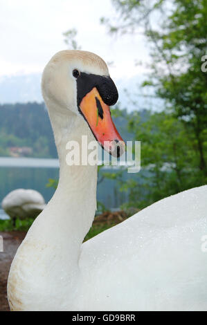 Swan in the wild, Europe - Stock Photo