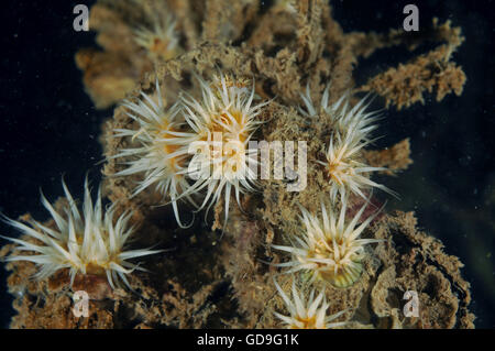 White-striped anemones Anthothoe albocincta - Stock Photo