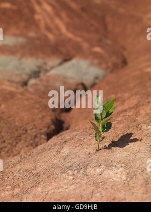 Single small plant growing on dry red soil - Stock Photo