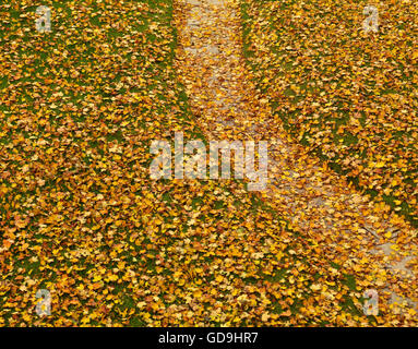 Lawn covered with fallen yellow maple leaves in autumn - Stock Photo