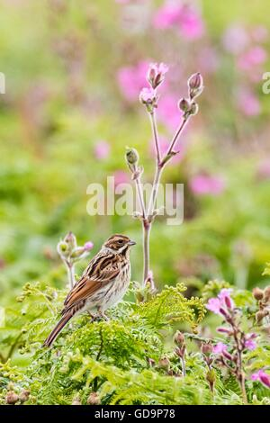 A reed bunting on Skomer Island with campion in the background. - Stock Photo