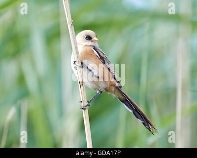 Juvenile bearded reedling resting on a branch in its habitat - Stock Photo