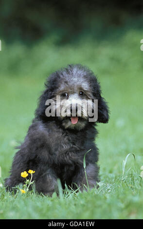Grey Miniature Poodle, Pup sitting on Grass - Stock Photo