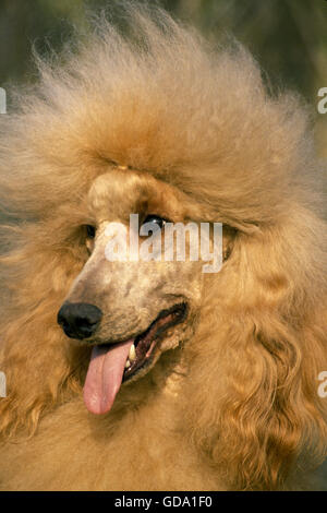 Apricot Giant Poodle, Portrait of Dog - Stock Photo