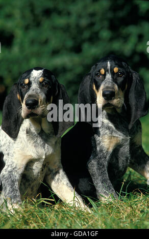 LITTLE BLUE GASCONY HOUND, ADULTS SITTING ON GRASS - Stock Photo