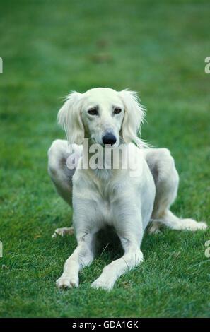 Saluki Dog laying on Lawn - Stock Photo