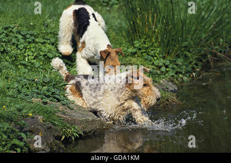 WIRE-HAIRED FOX TERRIER, ADULT ENTERING WATER - Stock Photo