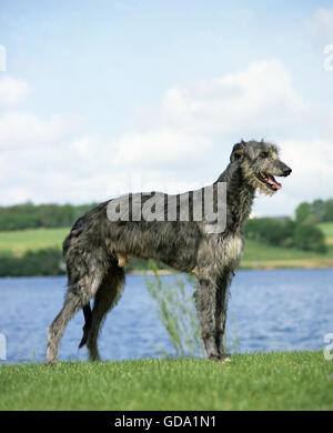 Scottish Deerhound Dog, Male near Lake - Stock Photo