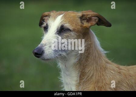 Spanish Wire-Haired Galgo or Spanish Greyhound - Stock Photo