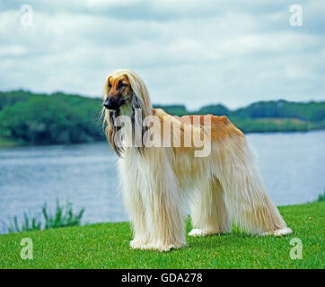 Afghan Hound, Adult standing near Lake - Stock Photo