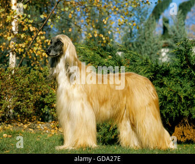 Afghan Hound, Dog standing on Lawn - Stock Photo