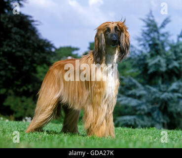 Afghan Hound, Adult Dog Standing on Grass - Stock Photo
