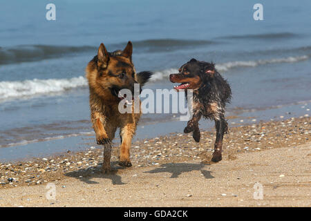 German Shepherd, Male playing with Brittany Spaniel, beach in Normandy - Stock Photo