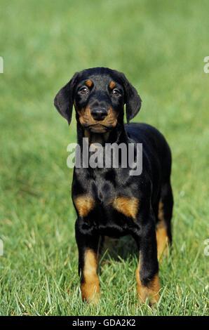 Dobermann Dog or Dobermann Pinscher, Pup on Grass - Stock Photo