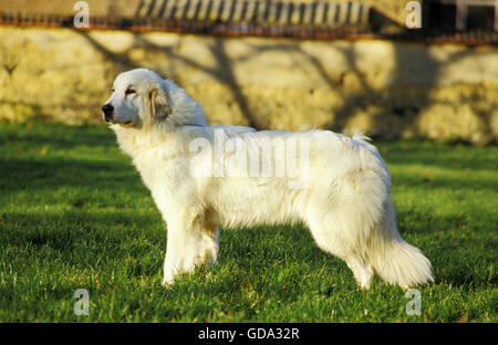 Great Pyrenees Dog or Pyrenean Mountain Dog - Stock Photo